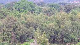Land with eucalyptus forest
