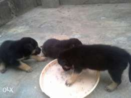 German shepherd for sale at affordable price