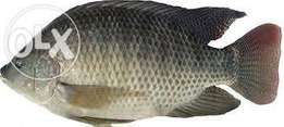 Fresh Tilapia and Nile pearch Fish supplier