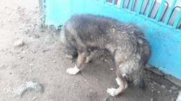 Male Caucasian dog for sale adult