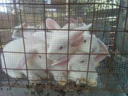 Newzealand white Rabbits on sale
