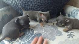 Stunning blue chihuahua puppies available