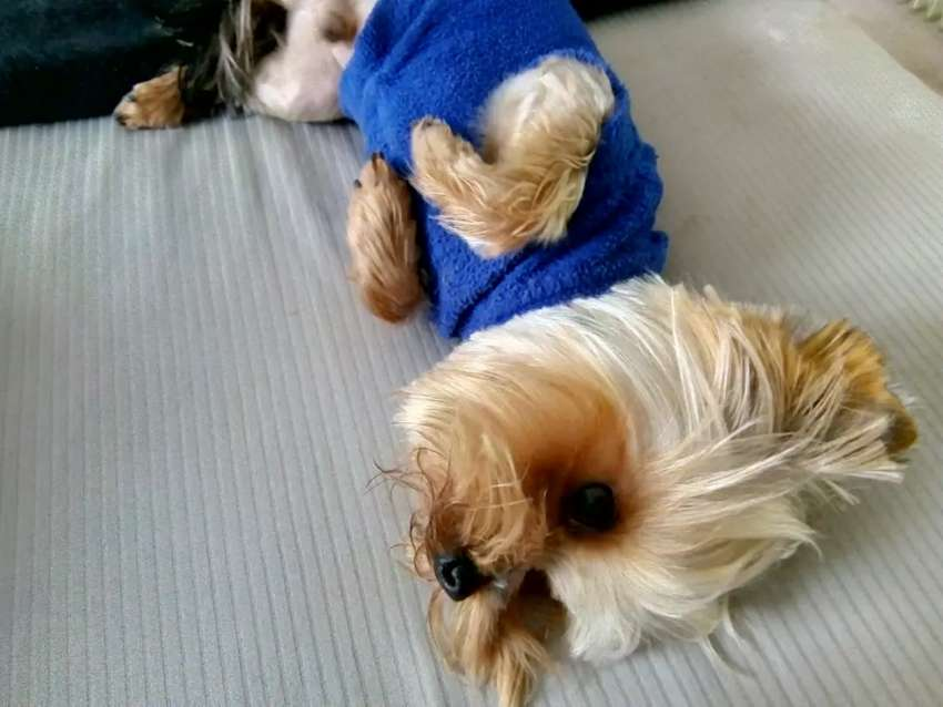Cute Yorkie Puppies Dogs Cats 1056958035 Olx
