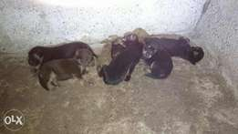 Rotwiller puppies for sale