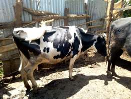 Freshly calved cows for sale