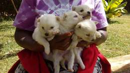 American Eskimo puppies for sale and free veterinary services
