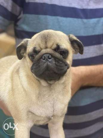 White Friday Offer Imported pug 5 Months 16k Instead of 17k