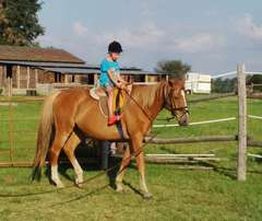 Bombproof horse for sale