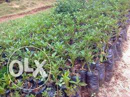 pepino melon seedlings on special offer