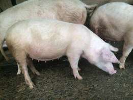 Pigs for sale in Murang'a