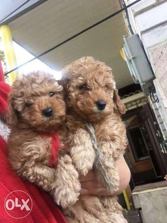 Toy Poodle 3kg Adult Weight