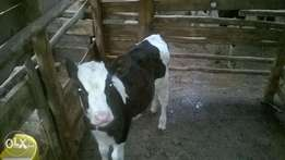 fresian cow calf for sale