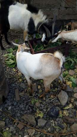 Christmas goats on offer -3 in number priced together Mwiki - image 4