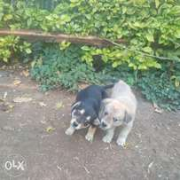 German Spitz puppies