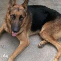 Adult male Gsd for sale