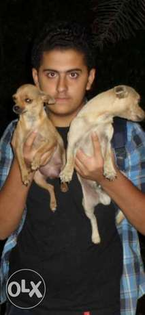 Small Chi Chi puppies FOR RESERVATION