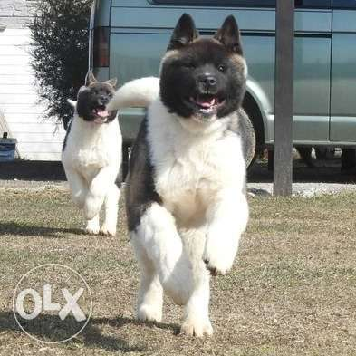 Akita An interesting boy, from gorgeous parents,