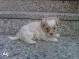 Both sex pedigree Shih tzu (Smaller in size Lhasa) puppies available.