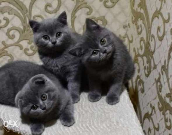Imported British fold kittens from best kennels in Europe