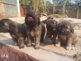 cheap caucasian puppies for sales; Alagbaka, Akure