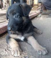 Healthy German Shepherd Dog Puppies Are Up For Sale