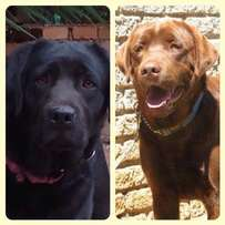 Kusa Registered Chocolate Labradors