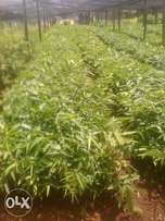 Chinese Bamboo/Giant Bamboo Tree seedlings