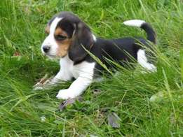 Lovable, playful, and affectionate kusa registered Beagle puppies