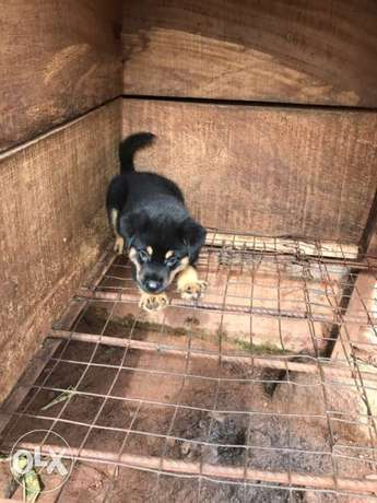 Pedigree Rottweiler puppies available Ugbowo - image 2