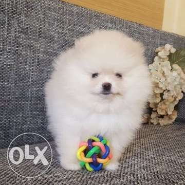 Pomeranian puppies in good breed type. Light cream color