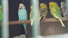 Show and crest budgies forsale breeding pairs