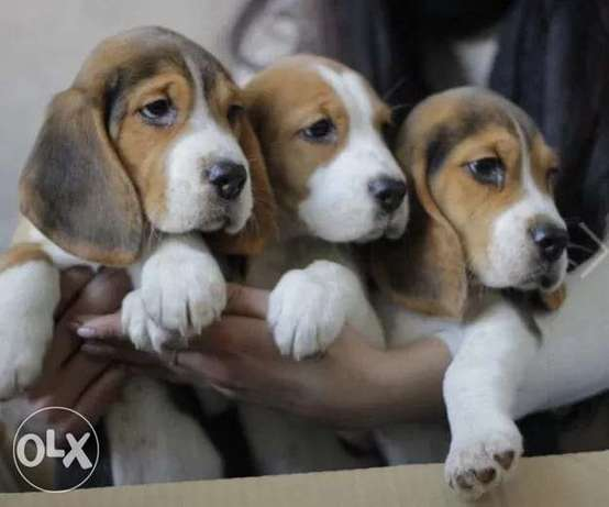 Beagle Puppies Male & Female Available