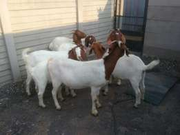 Boer goat ewes for sale.