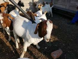 Wholesale supply of goats,sheep and cattle for sale