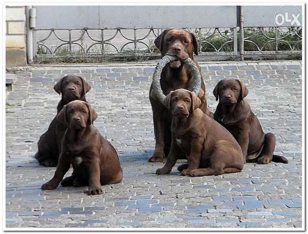 Imported chocolate Labrador puppies from best kennels in Europe
