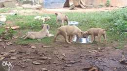 fantastic boerboel puppies from imported parents