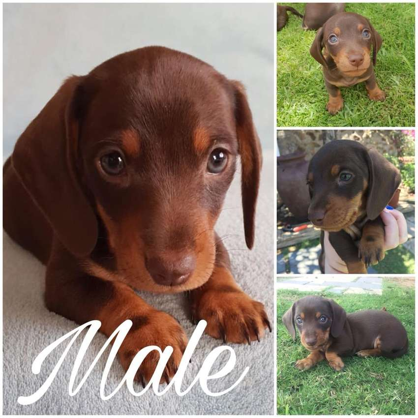 Miniature Dachshund For Sale Dogs Cats 1057573964