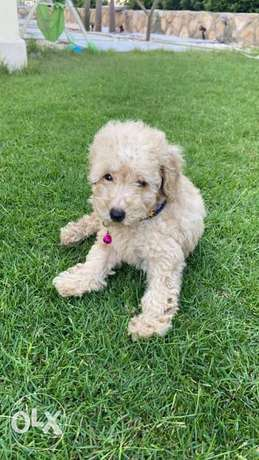 toy poodle puppy for sale.