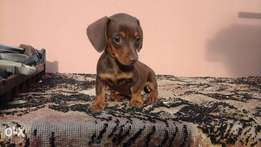 Solid Choclate FEMALE short hair miniature dachshund / worsies