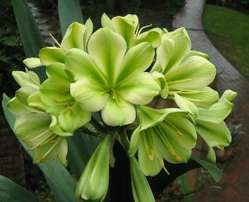 Clivia Hirao Green in color (plant has +- 20 seeds on ) imported