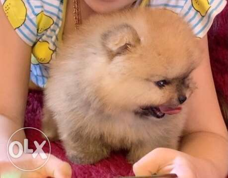 Pomeranian special offers for now