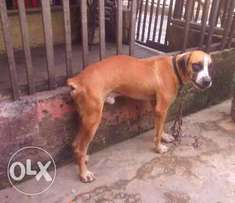 Security/guard dog(male boerboel for sale)