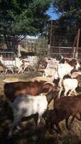 Goats, Sheep and Cattle for Wholesale