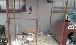 Pigeons and Cage