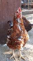 Jubilee orpington bantam chickens