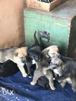 Labrador german shepherd cross puppies