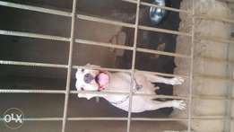 3 Years Old Female American Pit-bull Terrier For Sale