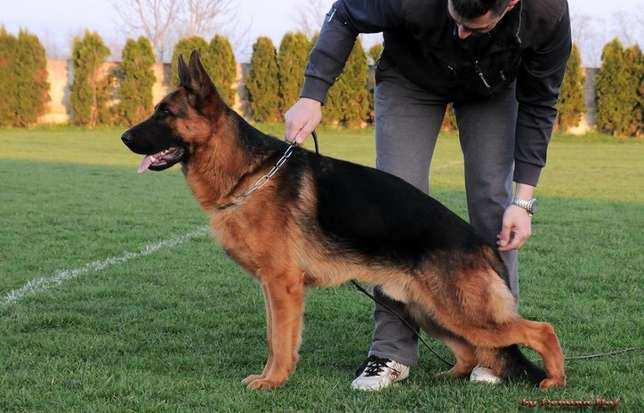 Stud Services - Imported Male Grandson to 2011 World Champion- Embu Town - image 2
