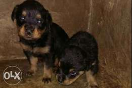 boxhead Rottweiler puppies