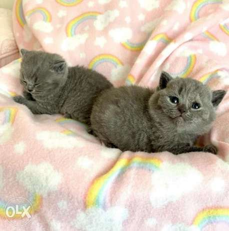 British shorthair kittens available now